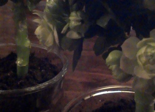 """Fra """"mormorblomst"""" til fint opstammet blomstertræ"""