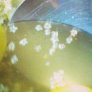 Hæld sommeren på glas – hyldeblomstsaft og hyldeblomsteddike