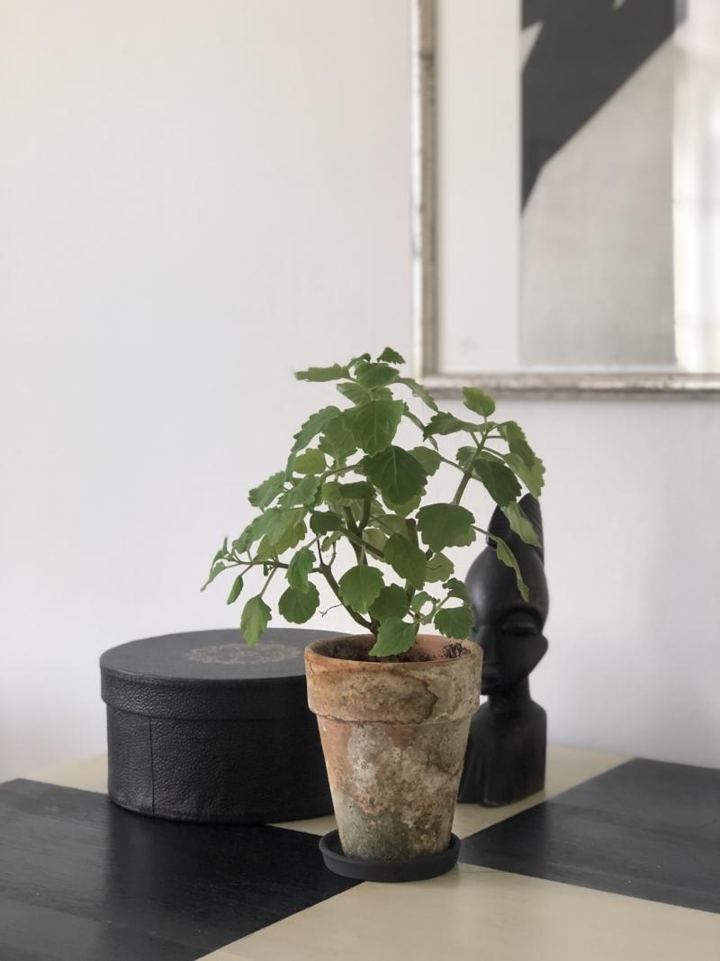 Mølplante er en fin og dekorativ grøn plante