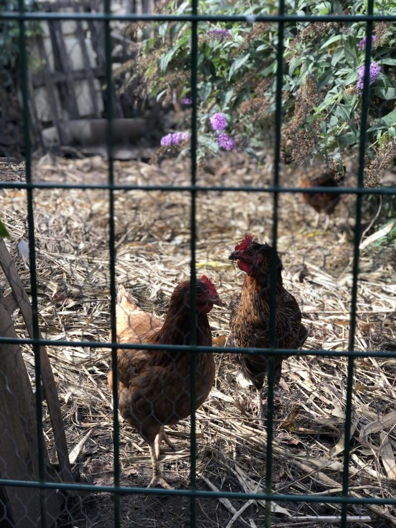 I Bayeux på Aggarthi Bed and Breakfast er der hyggelige høns i haven.